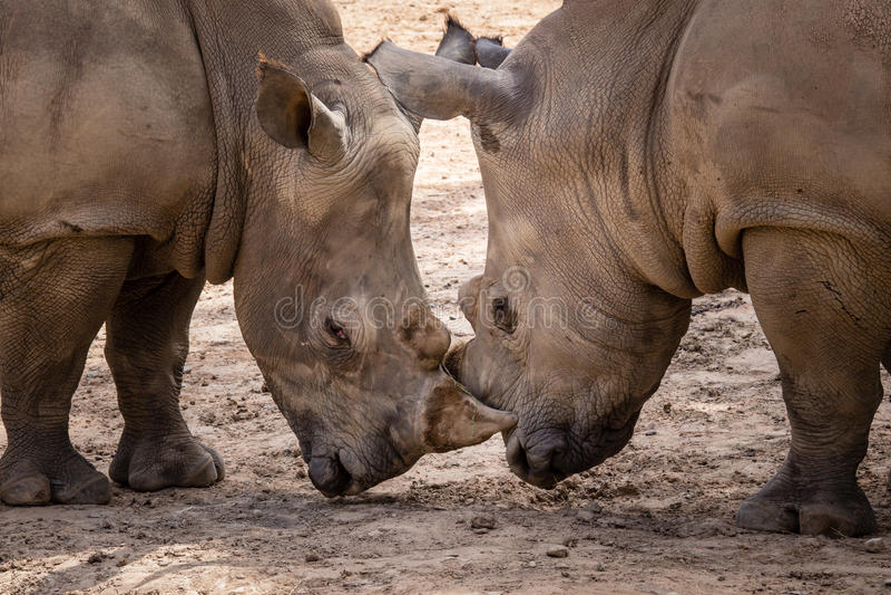 Huvud för noshörning (Ceratotherium Simum) - - huvud - khonkaenzoo, Tha royaltyfri foto