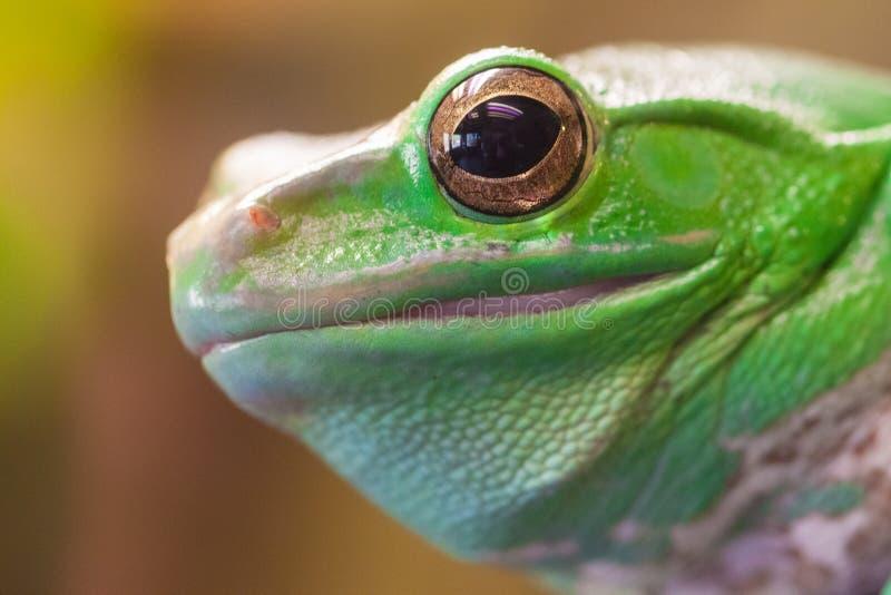 Huvud för ` s för grön groda med det stora ögat fotografering för bildbyråer