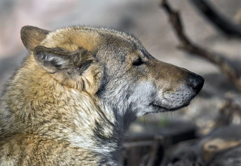 Huvud för ` s för grå varg fotografering för bildbyråer