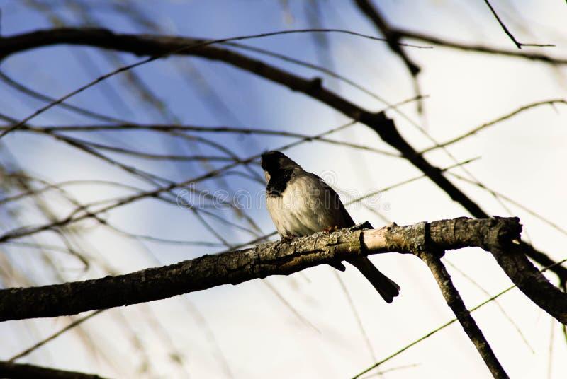 Huvud för svart för fågel för moln för blåa himlar för filialer för sångfågelträd vitt royaltyfria foton