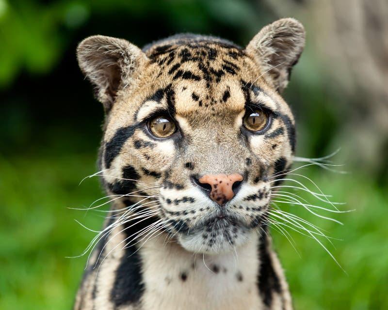 Huvud skjuten stående av den härliga fördunklade leoparden arkivfoton