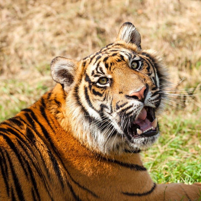 Huvud som skjutas av att brumma den Sumatran tigern royaltyfri bild