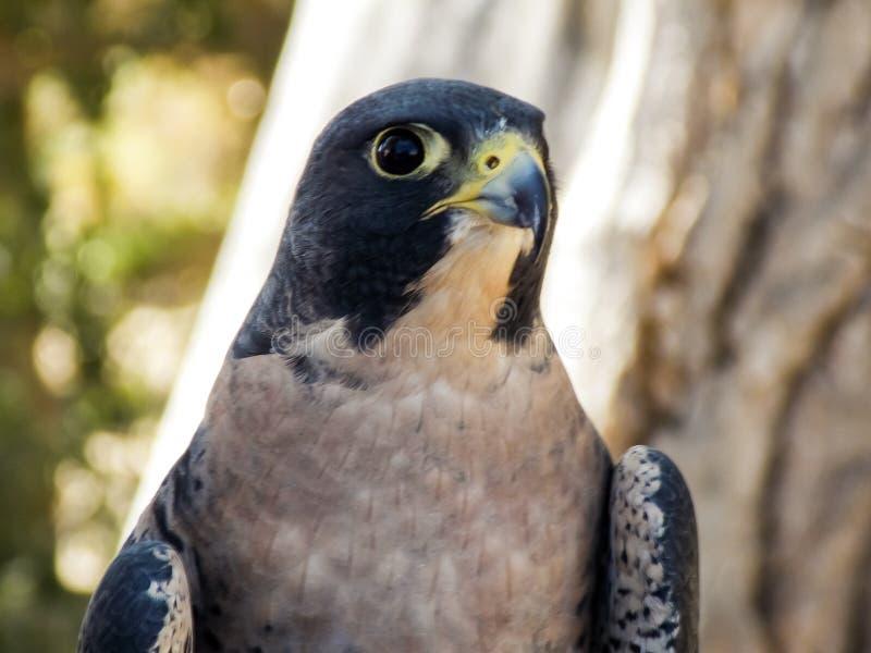 Huvud som skjutas av en Peregrine Falcon royaltyfri bild