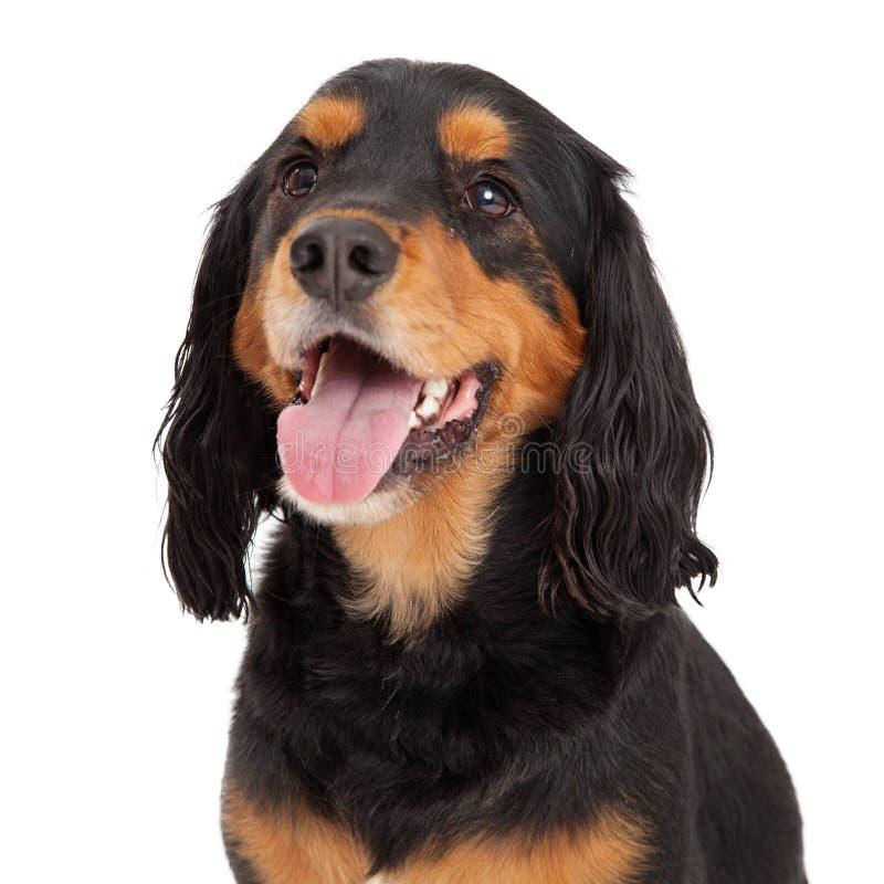 Huvud som skjutas av Gordon Setter Mix Breed Dog royaltyfria bilder