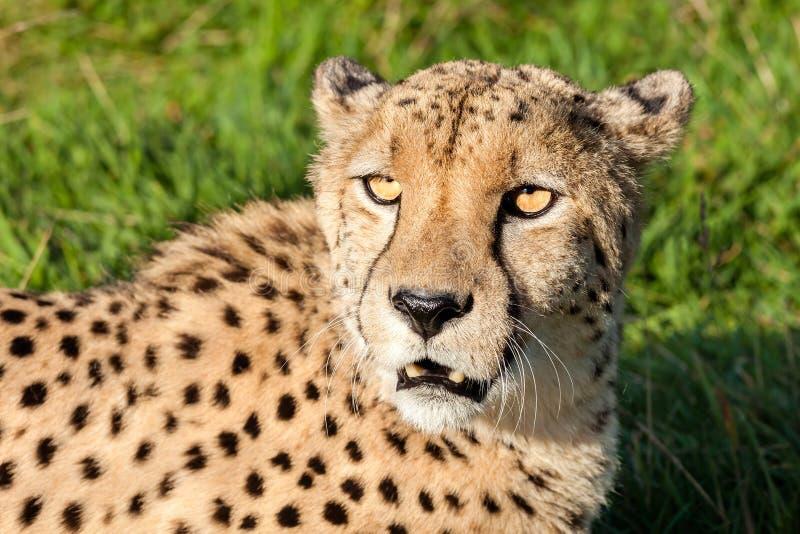 Huvud som skjutas av härlig Cheetah i eftermiddagen Sun arkivbilder