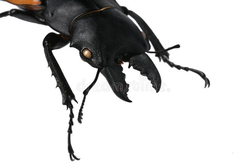 Huvud, underkäke och främre ben av den stora manskalbaggen av ekoxefamiljlucanidaen, denna särskilda inföding i Vietnam, på vita  fotografering för bildbyråer