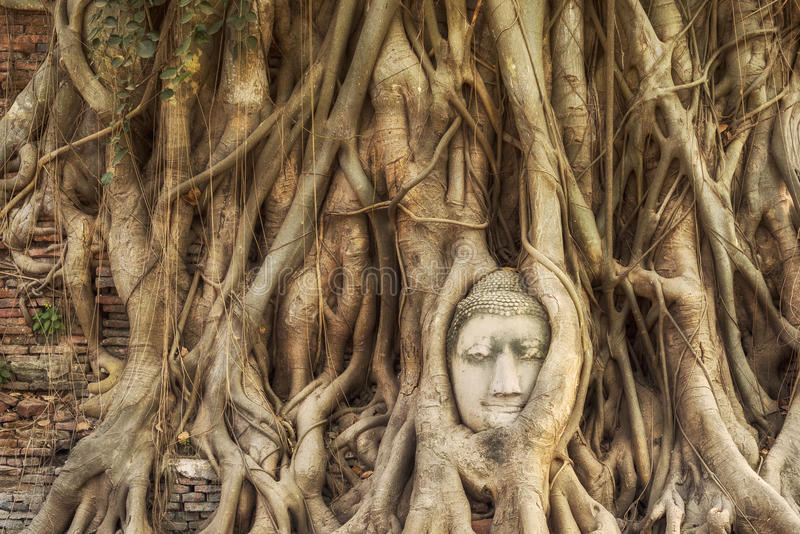 Huvudet av Buddhastatyn i trädet rotar, Ayutthaya, Thailand arkivfoto