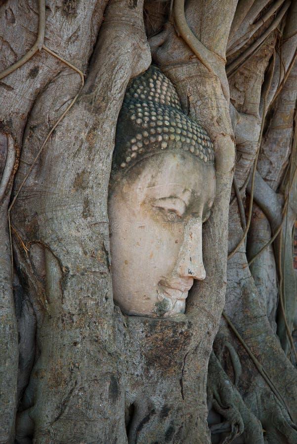 Huvudet av en forntida skulptur av Buddha, som växte in i träd, rotar En blick i en profil thailand royaltyfria bilder