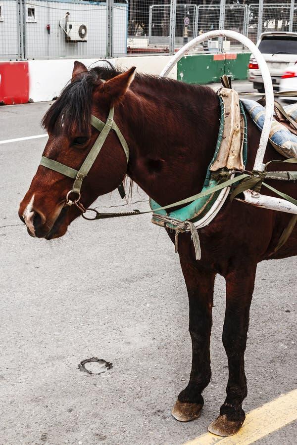 Huvudet av en häst som exploateras till en vagn för trans. av turister close upp Baku Azerbajdzjan 2018 royaltyfri foto