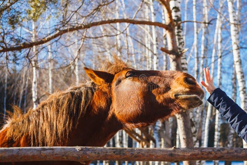 Huvudet av en röd häst sträcker till gömma i handflatan av handen arkivfoto