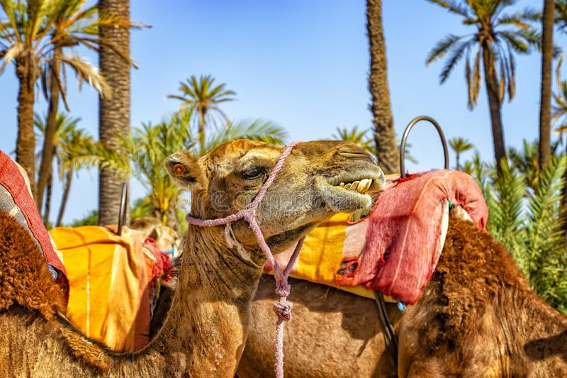 Huvudet av kamlet i en Palmeraie nära Marrakesh, Marocko Den sahara öknen placeras i Afrika Dromedars blir i sand arkivfoto