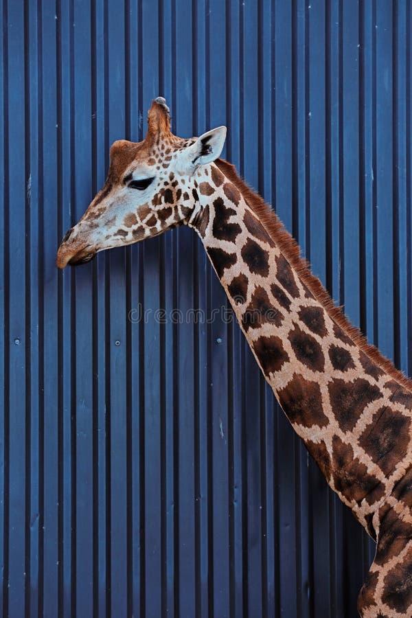 Huvudet och halsen av en Rothschild giraff arkivbilder
