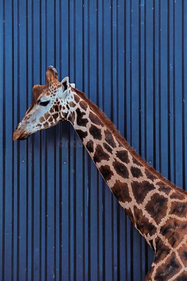 Huvudet och halsen av en Rothschild giraff arkivfoto
