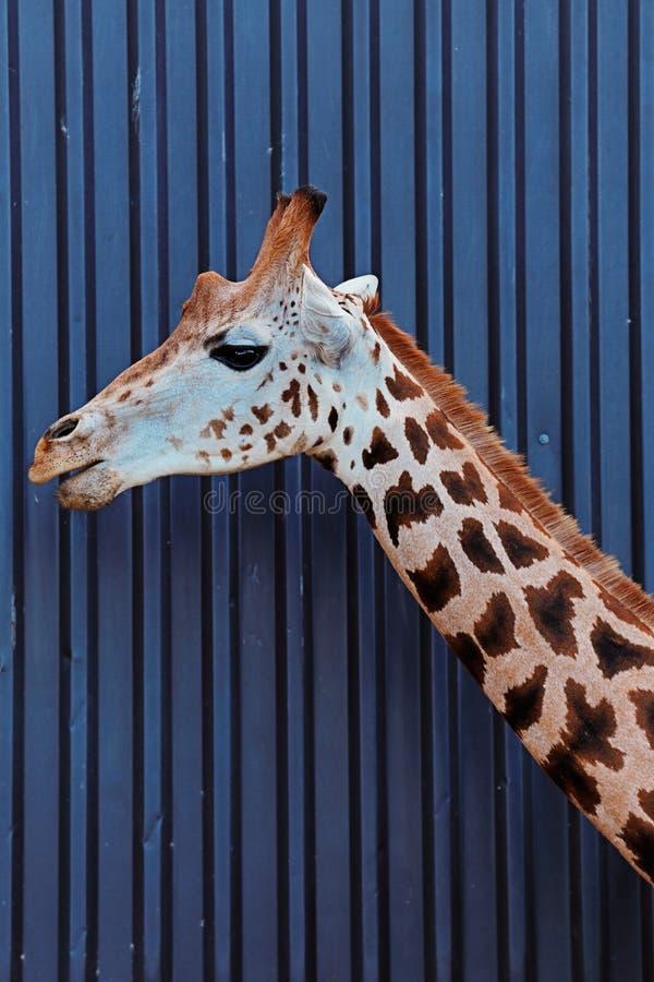 Huvudet och halsen av en Rothschild giraff arkivfoton