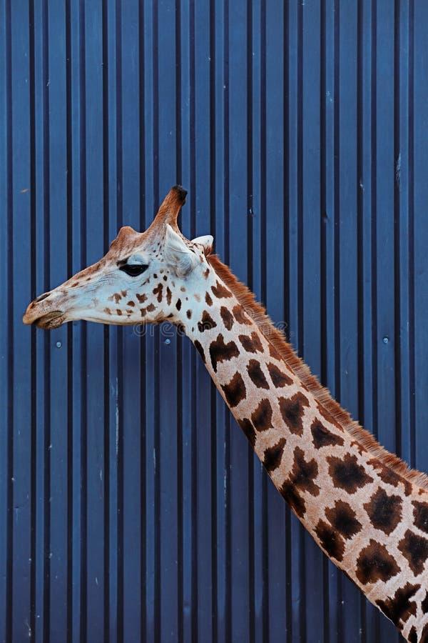 Huvudet och halsen av en Rothschild giraff royaltyfri fotografi