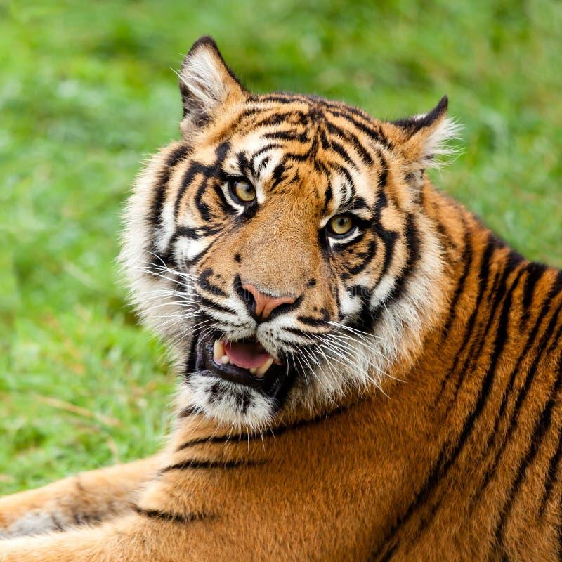 Huvudet sköt av att brumma den Sumatran tigern arkivbild