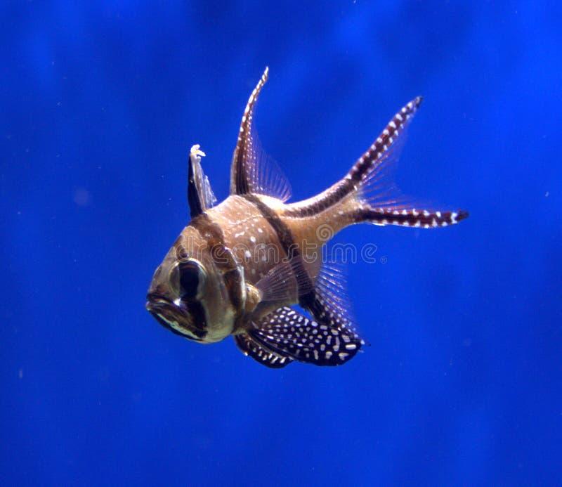 huvudsaklig fisk för bangaii royaltyfri foto