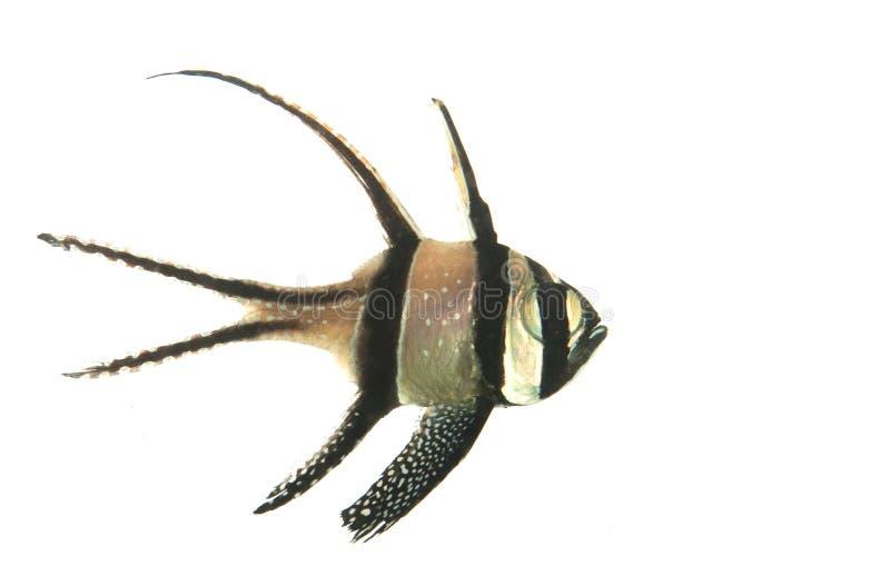 huvudsaklig fisk för bangaii royaltyfria bilder