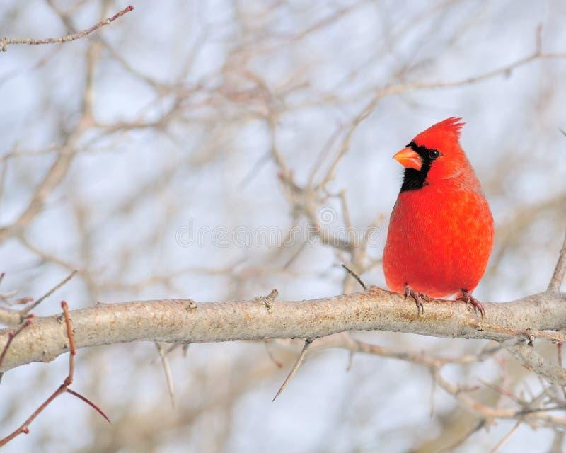 huvudsakliga cardinalis royaltyfria bilder