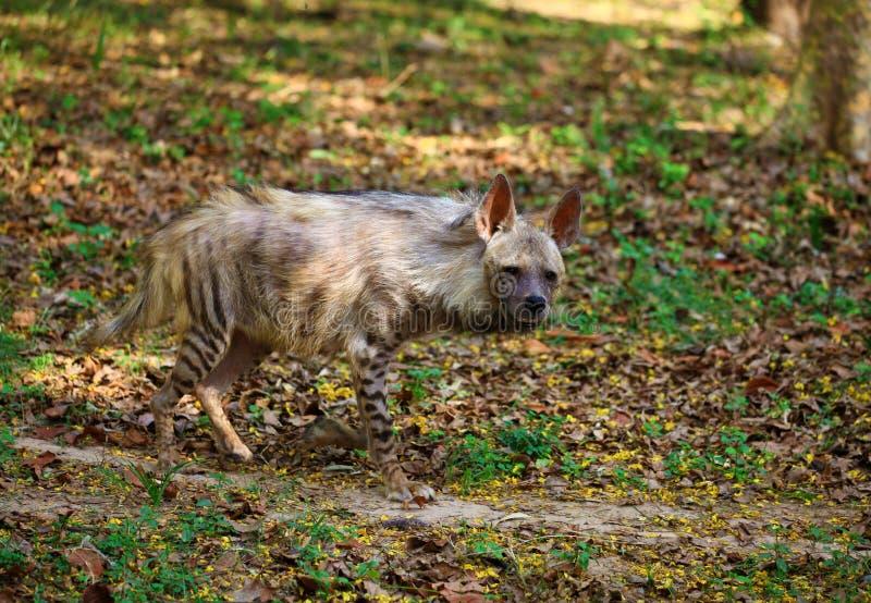Hyäne stockfoto