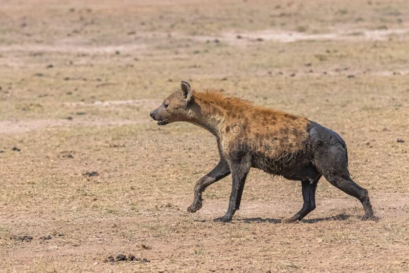 Hyäne bedeckt mit Schlamm lizenzfreie stockfotos