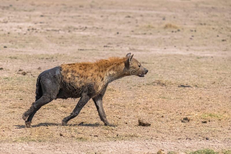 Hyäne bedeckt mit Schlamm stockfoto