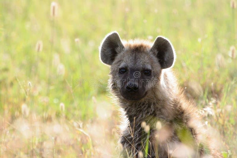Hyäne in der goldenen Hintergrundbeleuchtung lizenzfreies stockbild