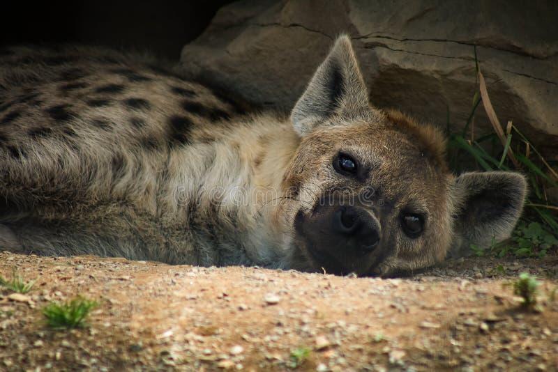 Hyäne, die unter einem schattierten Felsen an einem heißen Sommertag stillsteht lizenzfreies stockfoto