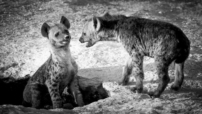 Hyänenbabyspiel, das an der Höhle kämpft lizenzfreies stockbild