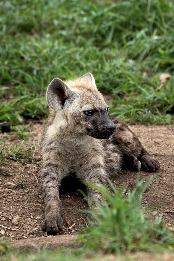 Hyänenjunges lizenzfreie stockfotos