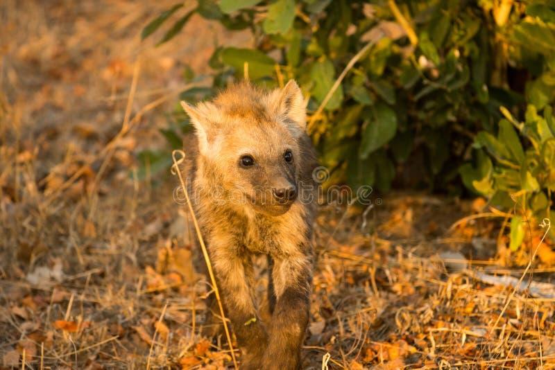 Hyänenjunges stockfotos