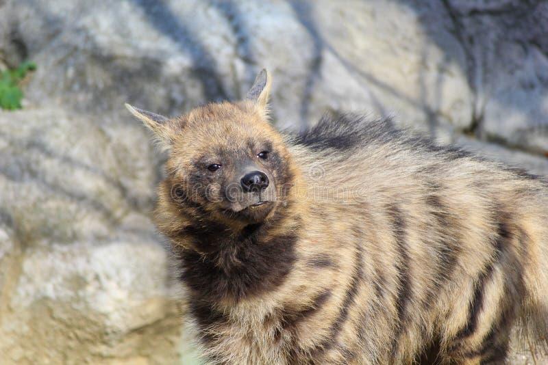 Hyène en captivité photographie stock