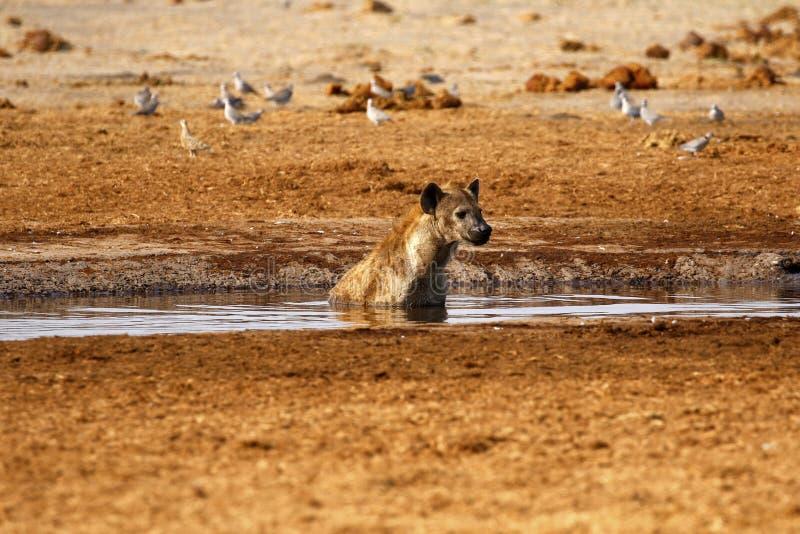 Hyène heureuse photos stock