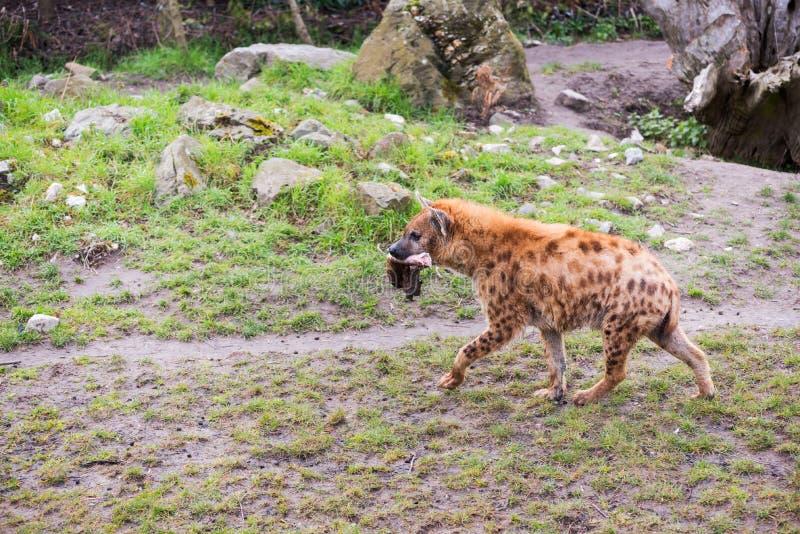 Hyène marchant avec un morceau de viande dans la bouche photos libres de droits