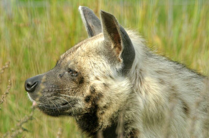 Hyène rayée photographie stock
