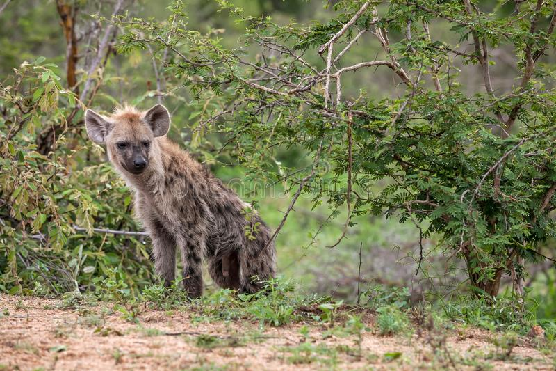 Hyène regardant du buisson photos stock