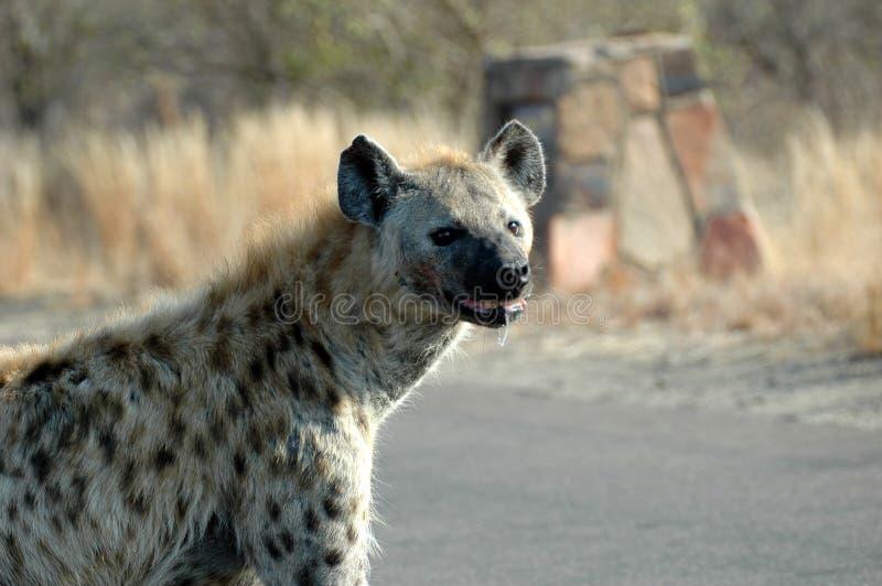 Hyène repérée photo stock