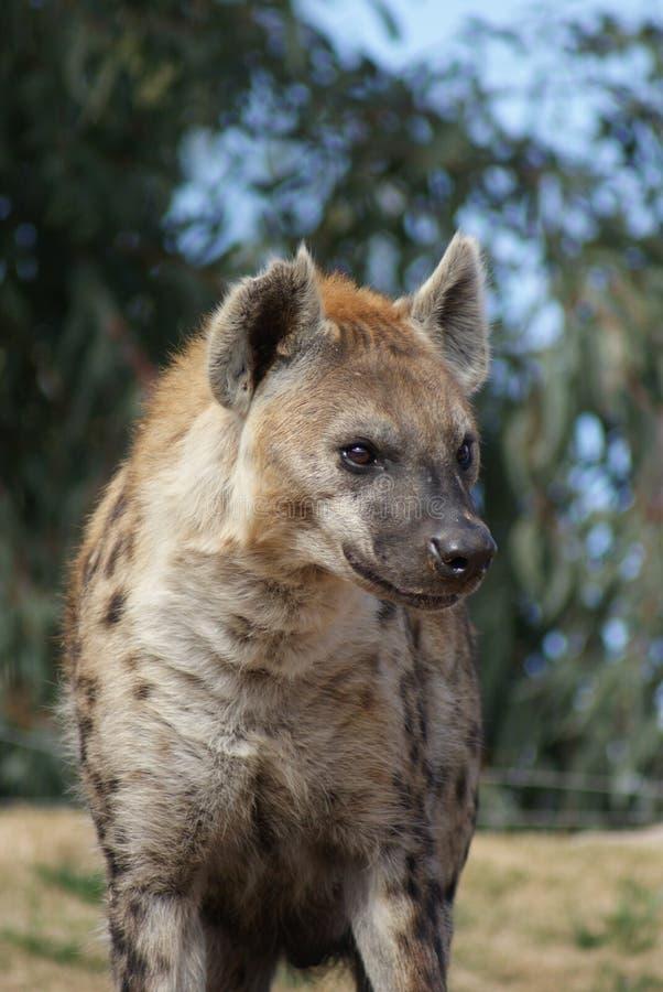 Hyène repérée photographie stock