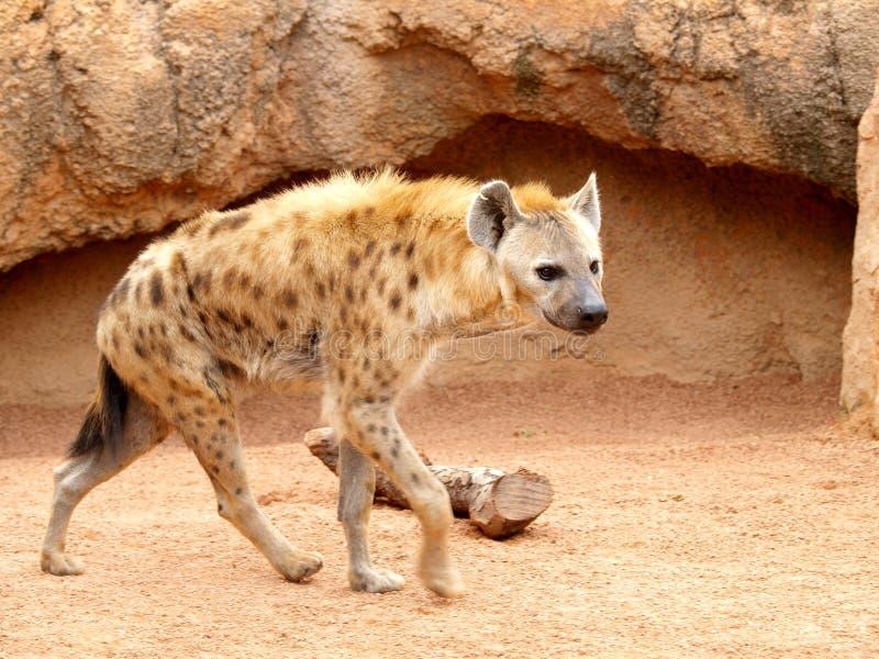 Hyène repérée photo libre de droits