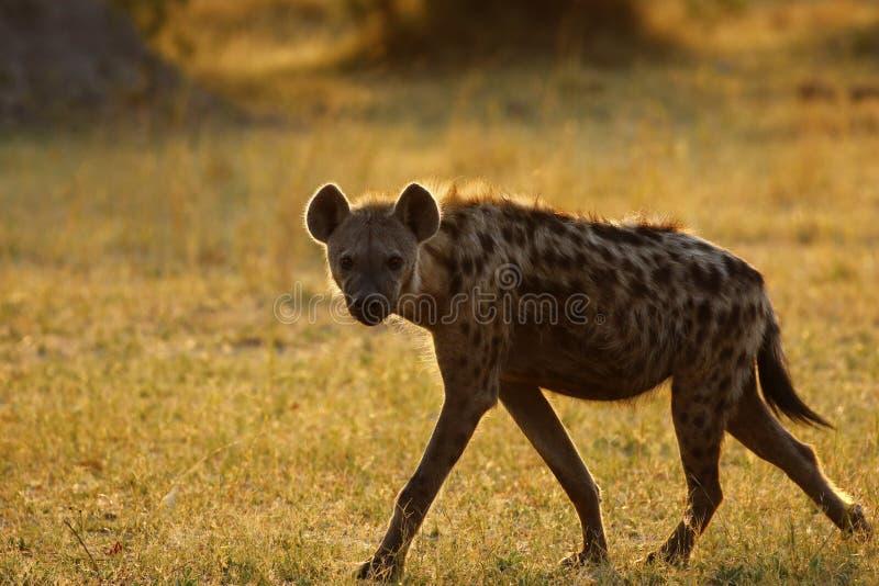 Hyène repérée africaine image stock