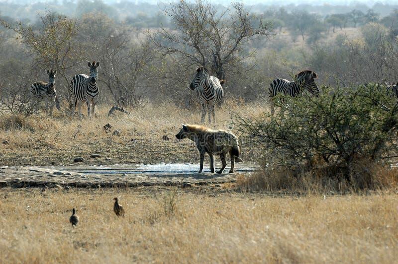 Hyène repérée avec le zèbre images stock