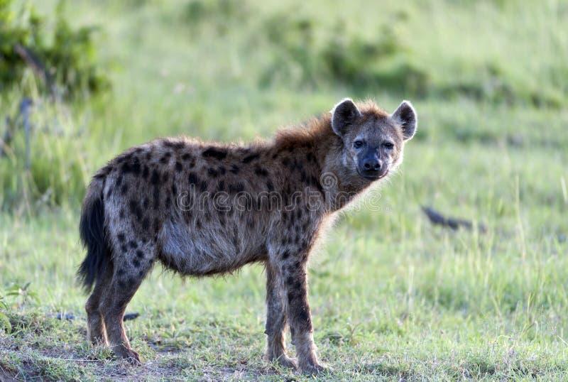 Hyène repérée, crocuta de Crocuta, photographie stock libre de droits