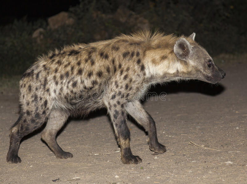 Hyène repérée (crocuta de Crocuta) Harar l'ethiopie image stock