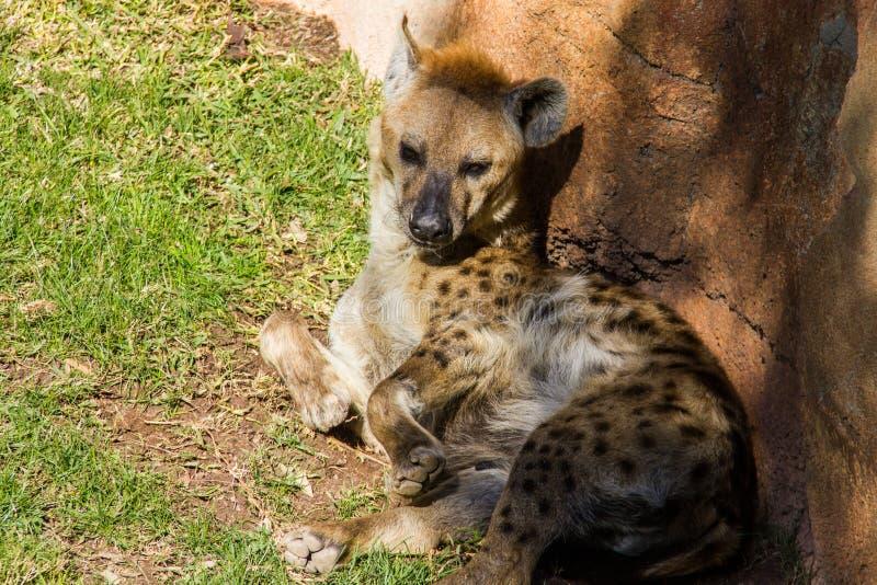 Hyène repérée, crocuta de crocuta, s'étendant sur l'herbe image libre de droits