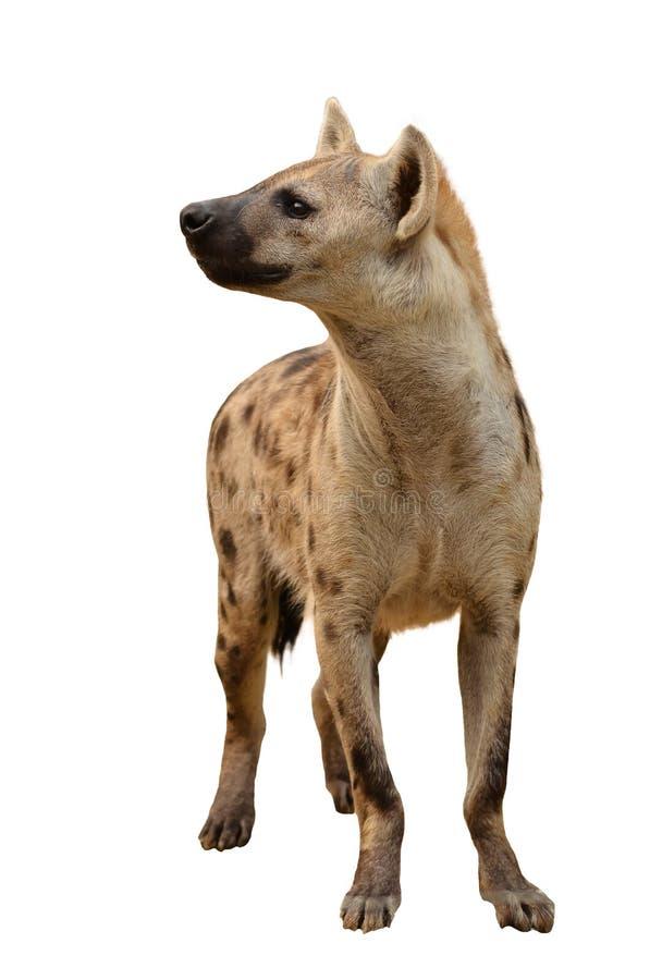 Hyène repérée d'isolement photo stock