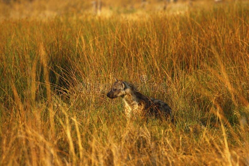 Hyène repérée dans la longue herbe photographie stock libre de droits