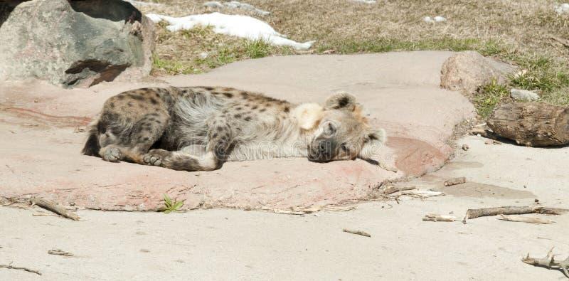 Hyène repérée par sommeil photo stock