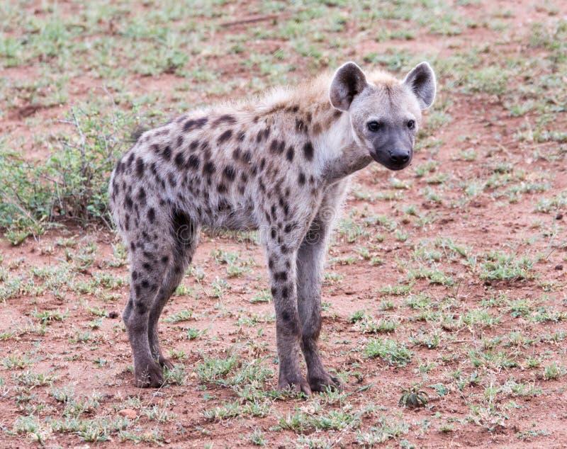 Hyène repérée sur la faune photo stock