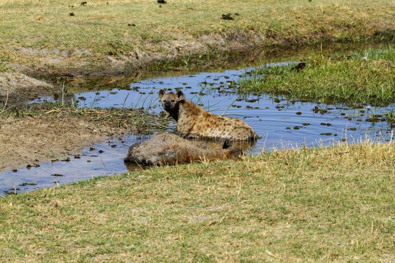 Hyènes repérées images stock