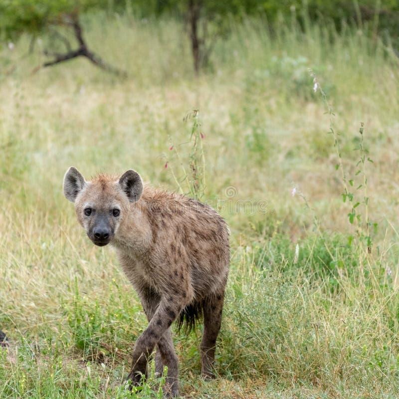 Hy?ne rep?r?e dans le buisson, photographi? en Sabi Sands, Kruger, Afrique du Sud photos libres de droits